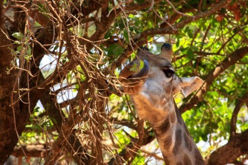 Fressende Giraffe in Lusaka, Sambia