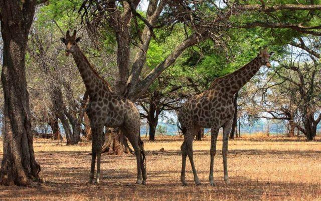 Giraffen in Lusaka, Sambia