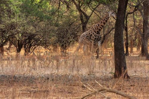 Giraffe und Springböcke in Lusaka, Sambia