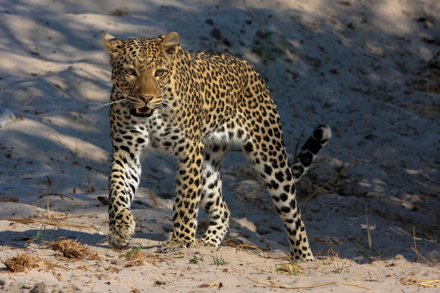 My first leopard.