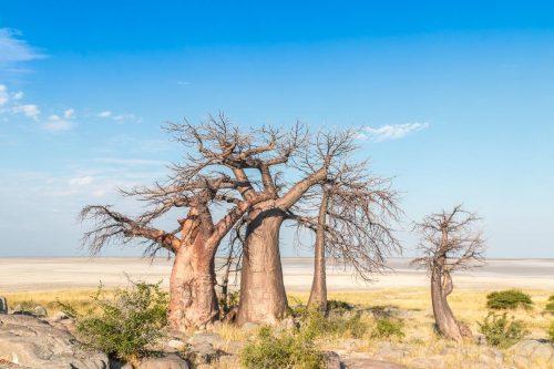 Baobas auf Kubu Island