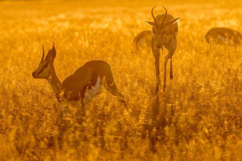 Springende Springböcke im Sonnenuntergang