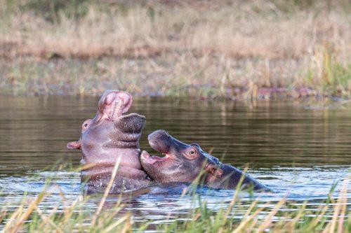 Junge Nilpferde spielen im Khwai