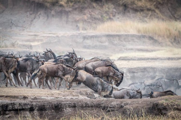 Great Migration: Springende Gnus in der Serengeti