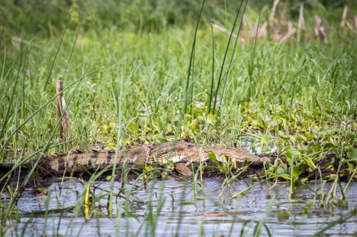 Krokodil am Lake Baringo