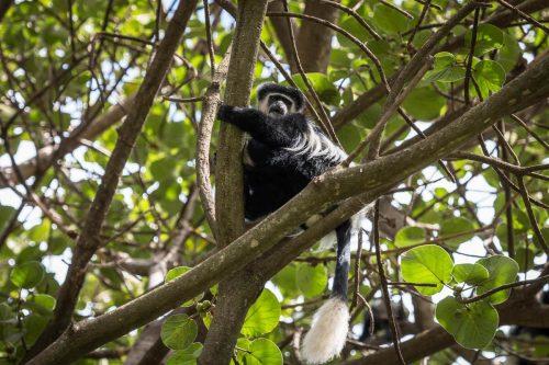 Schwarz-weißer Stummelaffe am Lake Naivasha