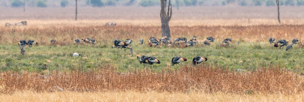 Kronenkraniche (Grey crowned crane) im Nsefu-Sektor